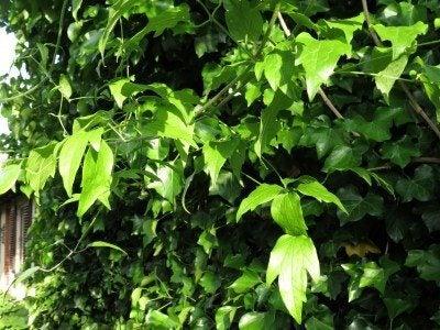 clematis foliage