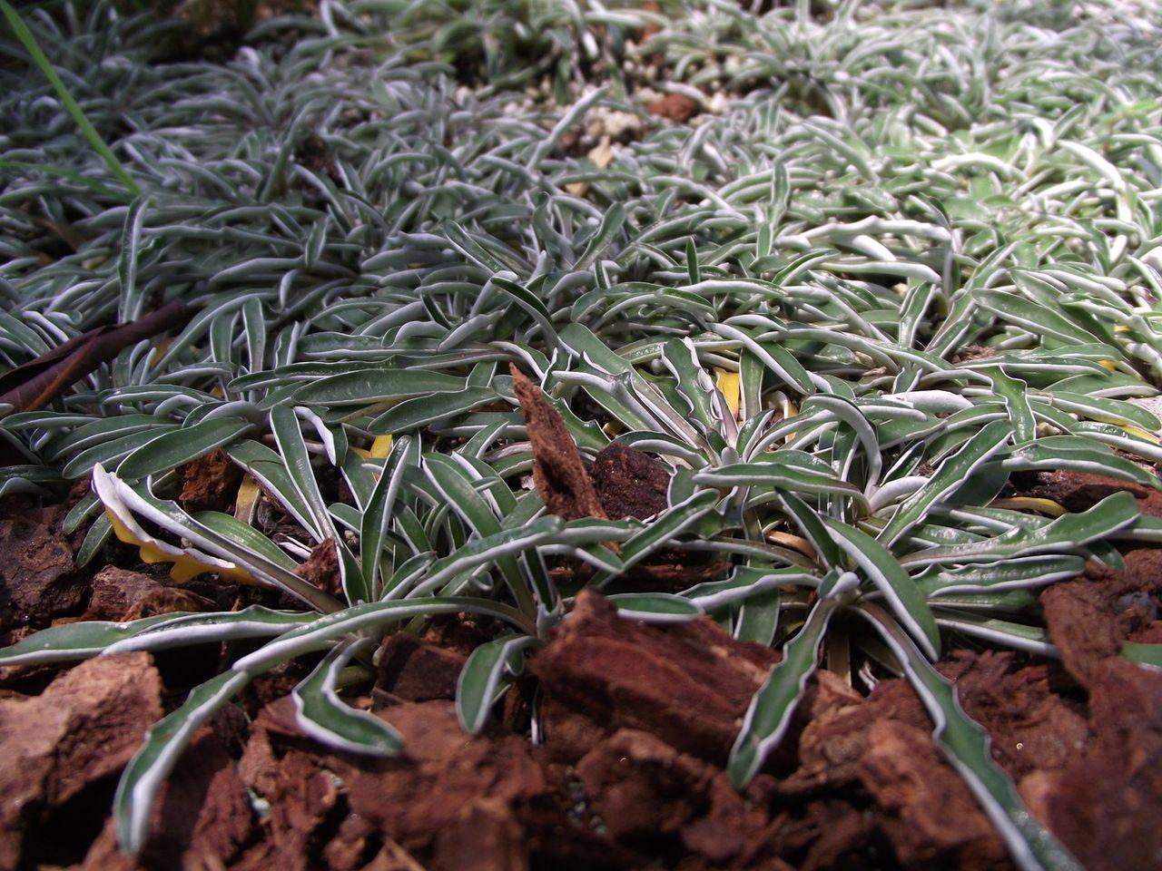 Care Of Dymondia How To Plant Dymondia Ground Cover In