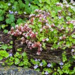 English stonecrop (Sedum anglicum) in rustic wood planter, ivy leaf toadflax in background.