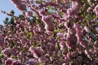 flowering almond pruning