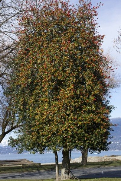 American holly information: tips on growing american holly trees