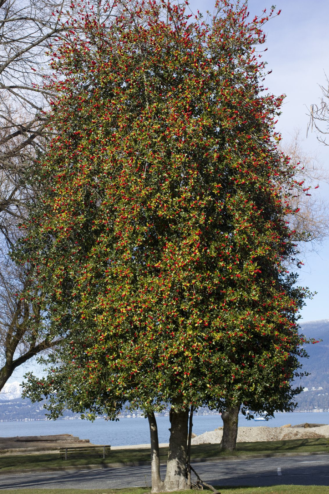 American Holly Planting Learn How To Care For American Holly
