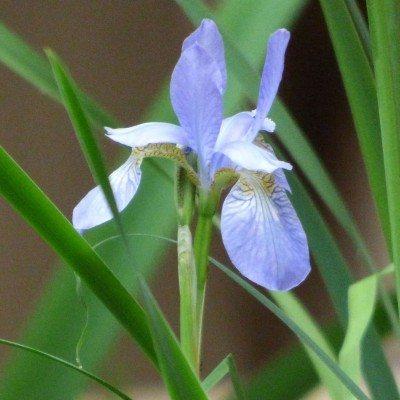 iris-4