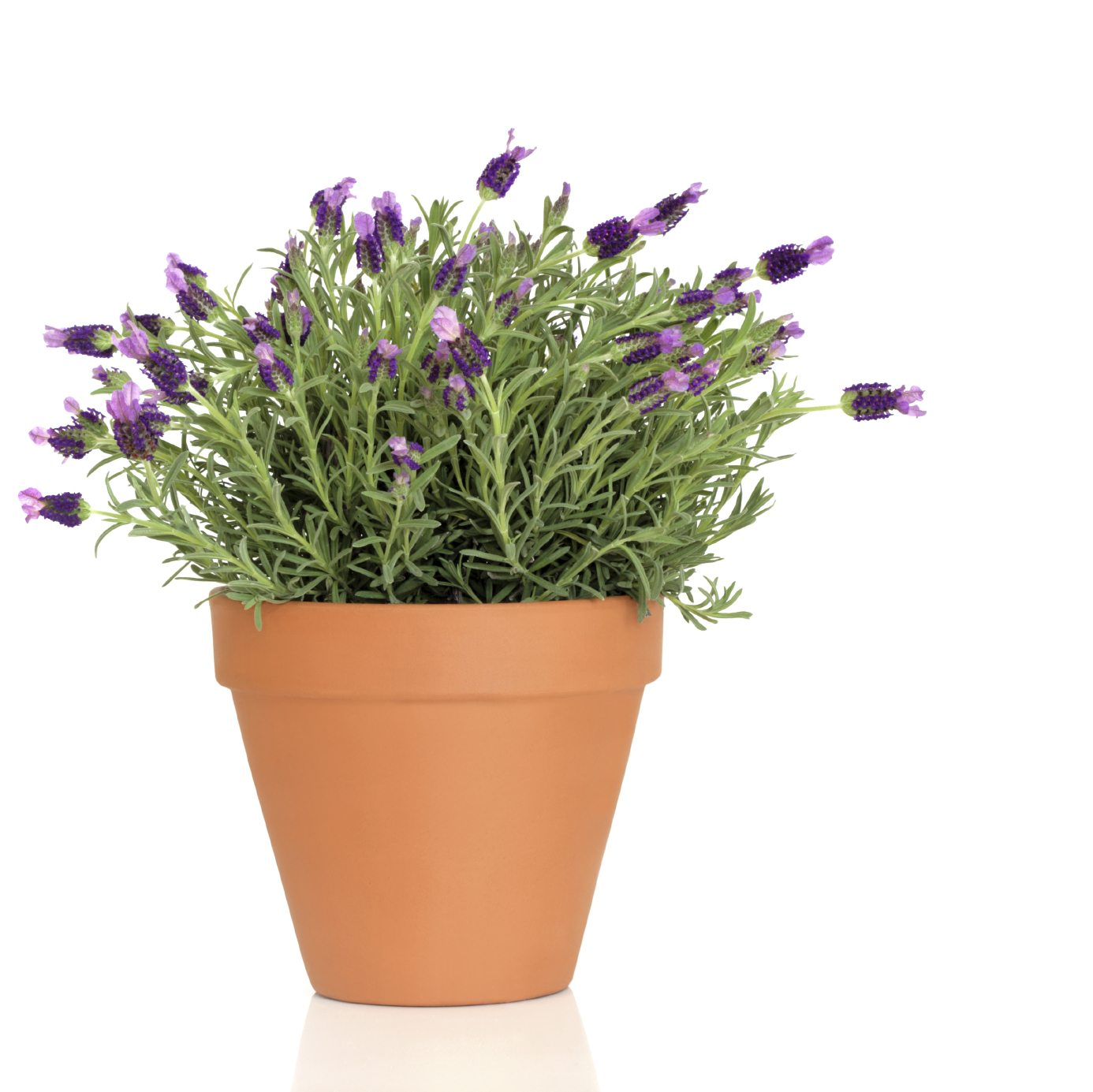 Potted lavender care how to grow lavender in containers - Growing lavender pot ...