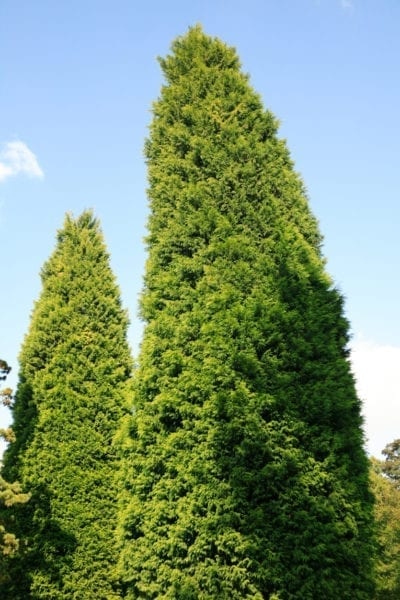 Trimming Leyland Cypress Trees How And When To Prune Leyland Cypress
