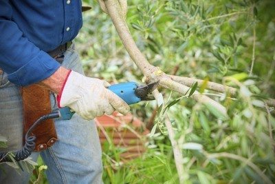Pruning Olive Trees Learn When And How To Prune