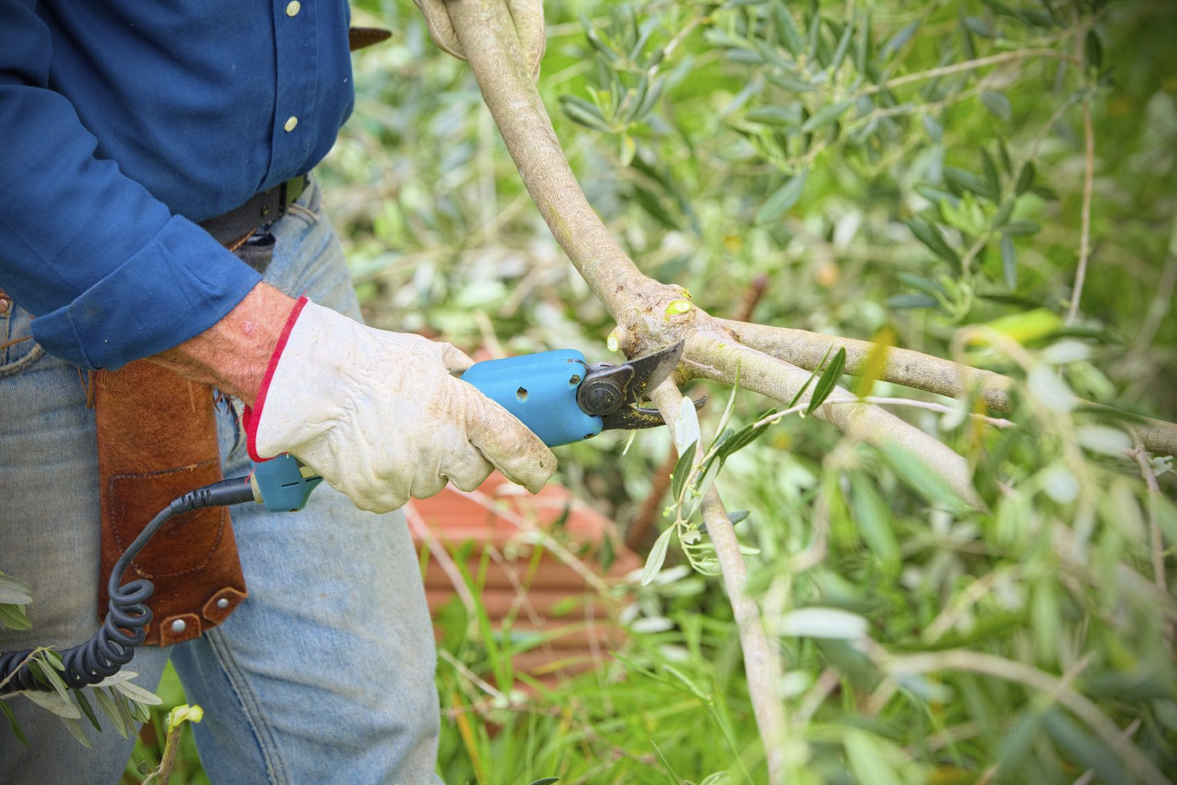 Guide To Trimming Olive Trees When Is The Best Time To Prune Olive Trees
