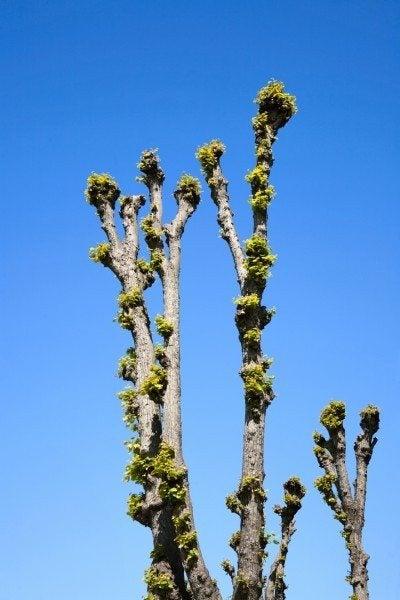 Pollarded tree and a blue sky