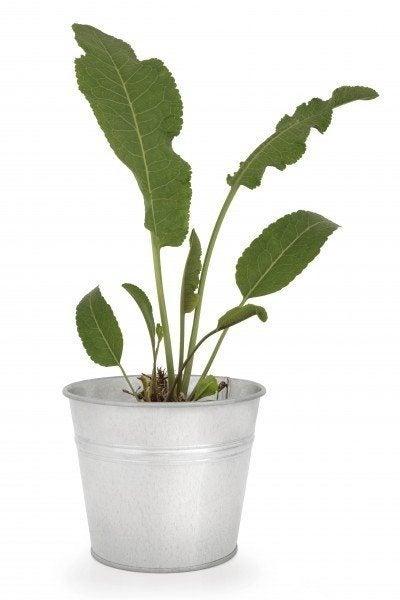 Horseradish plant in an aluminium pot over white background.