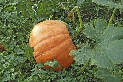 Harvest of beautiful big ripe autumn pumpkin