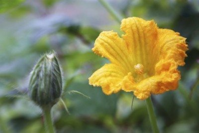 Pollination of pumpkin plants: how to hand pollinate pumpkins