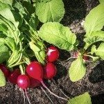 Radishes in the garden growing on black soil
