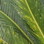 Cycad scientific name is Cycas circinalis L., Families Cycadaceae.