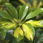 tropical plants araliaceae schfflera arboricola hayata
