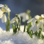 snowdrops bloom
