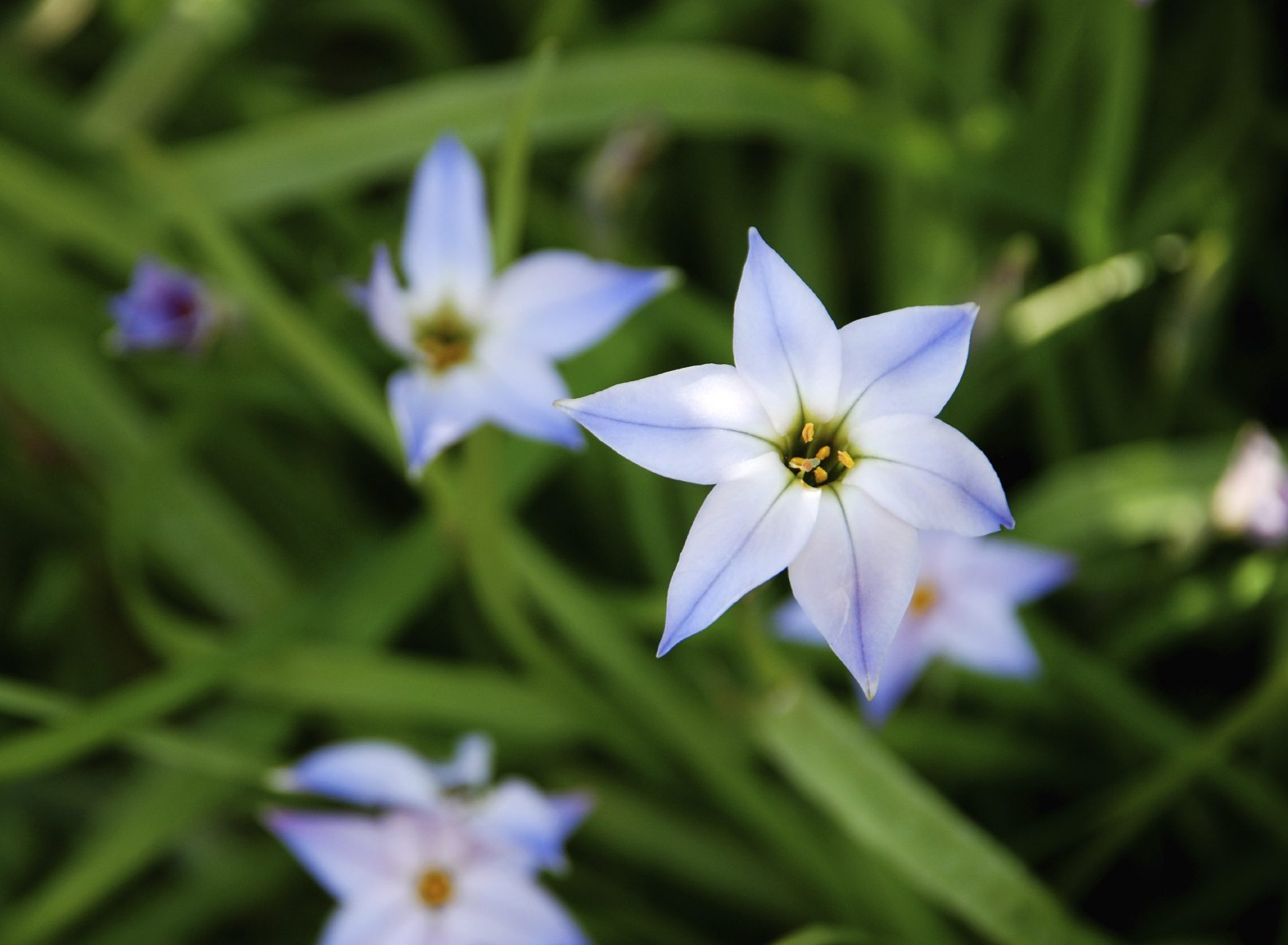 Growing Spring Starflower Bulbs How And When To Plant Ipheion