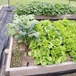 These raised beds contain lettuce, kale, and sweet potatoes.