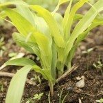 yellow corn leaves