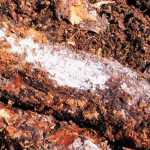 actinomycetes compost