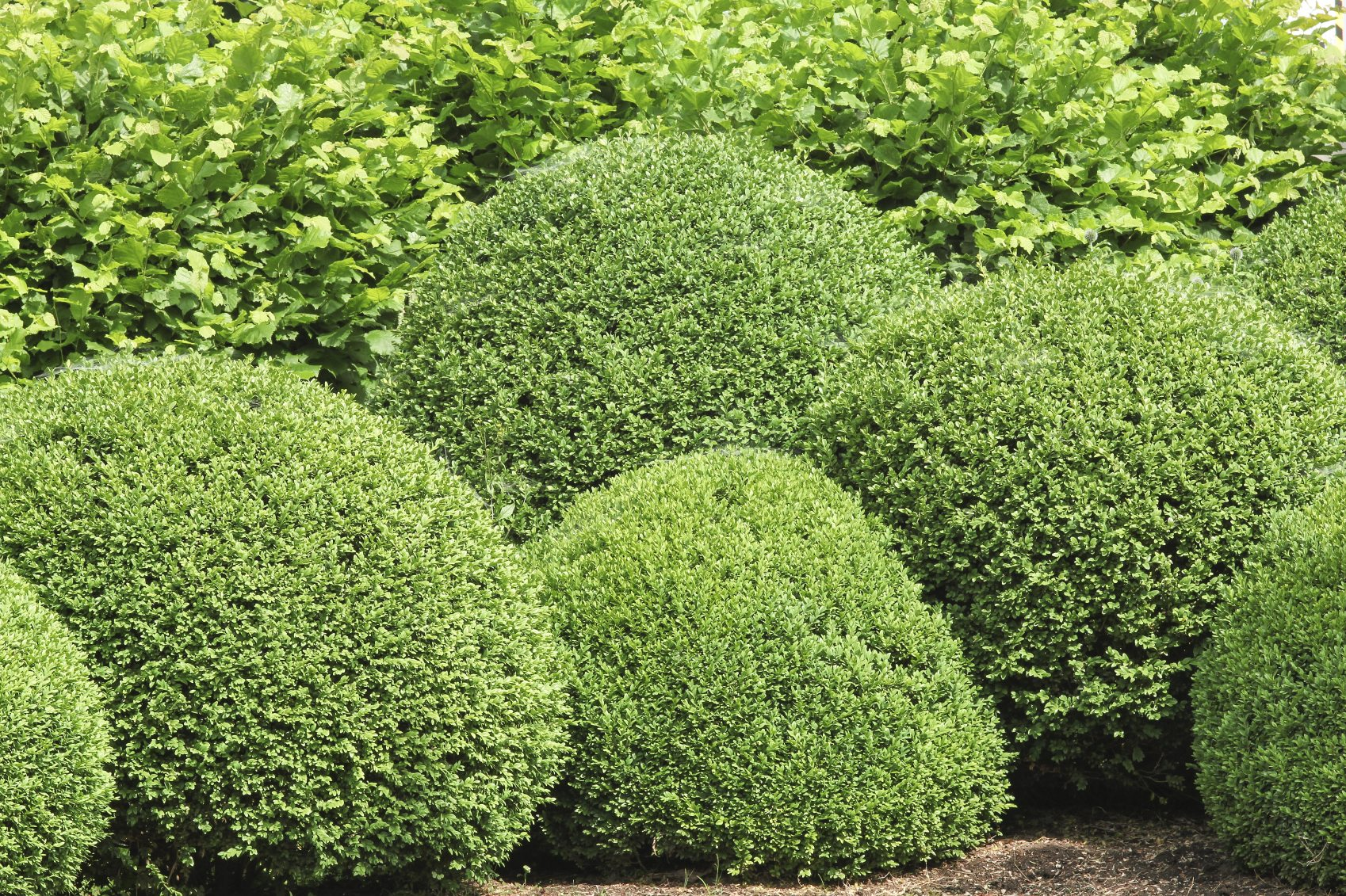 Boxwood bush types what are some good buxus varieties to for Common landscaping shrubs