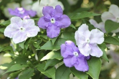 Brunsfelsia Propagation Learn How To Propagate Yesterday Today And Tomorrow