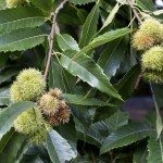 Chestnut cupule, also known as bur or burr, with sharp spines on the tree.