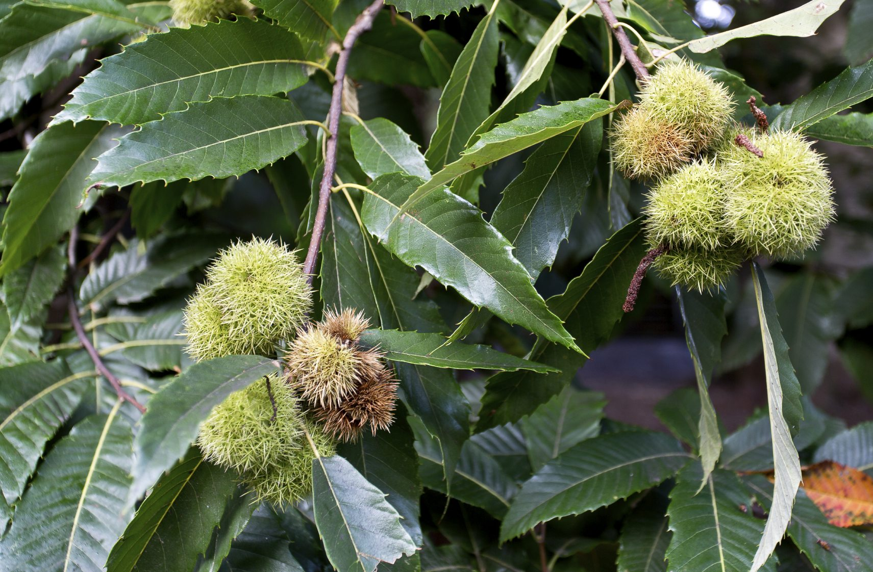 Chestnut Tree Information – Learn How To Grow Chestnut Trees