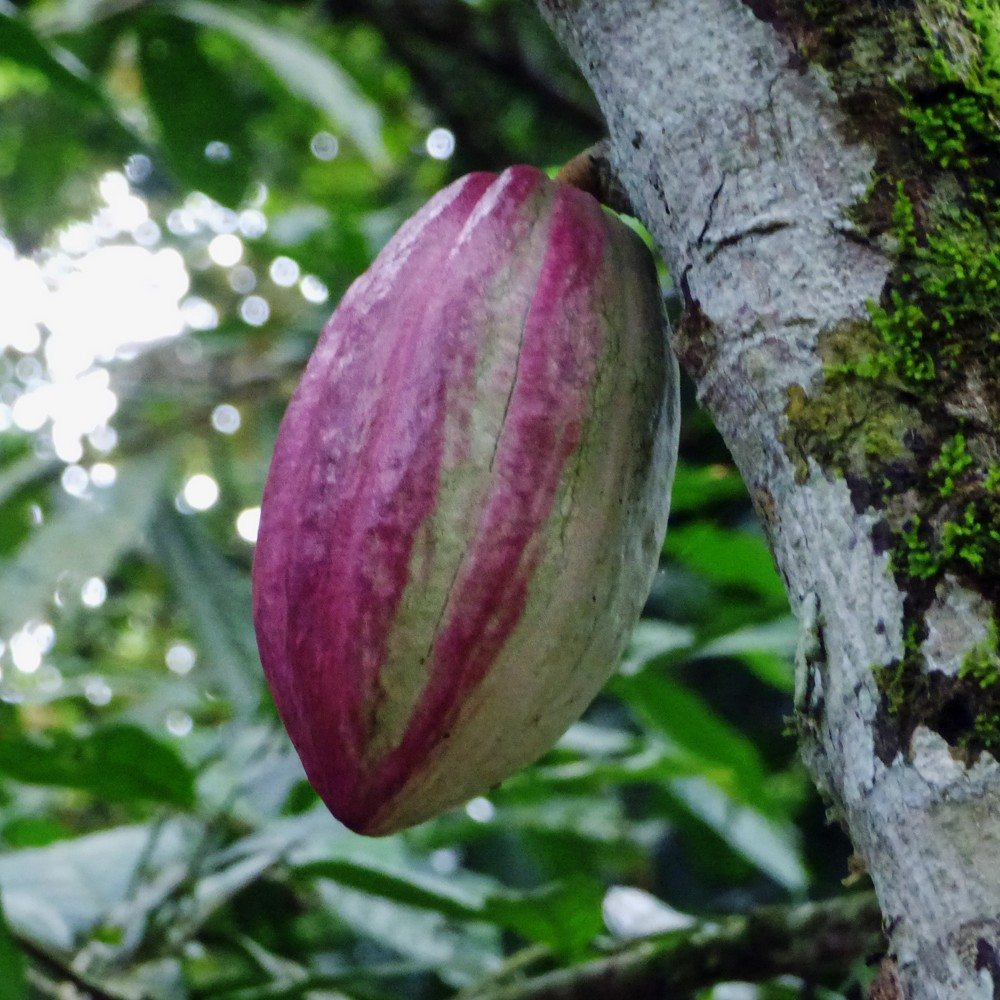 Learn About Growing Cocoa Beans