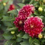 Red flowers of the plant - Dahlia - Hypnotica - Sangria
