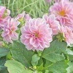 Sweet pink Dahlia flowers frontal view.