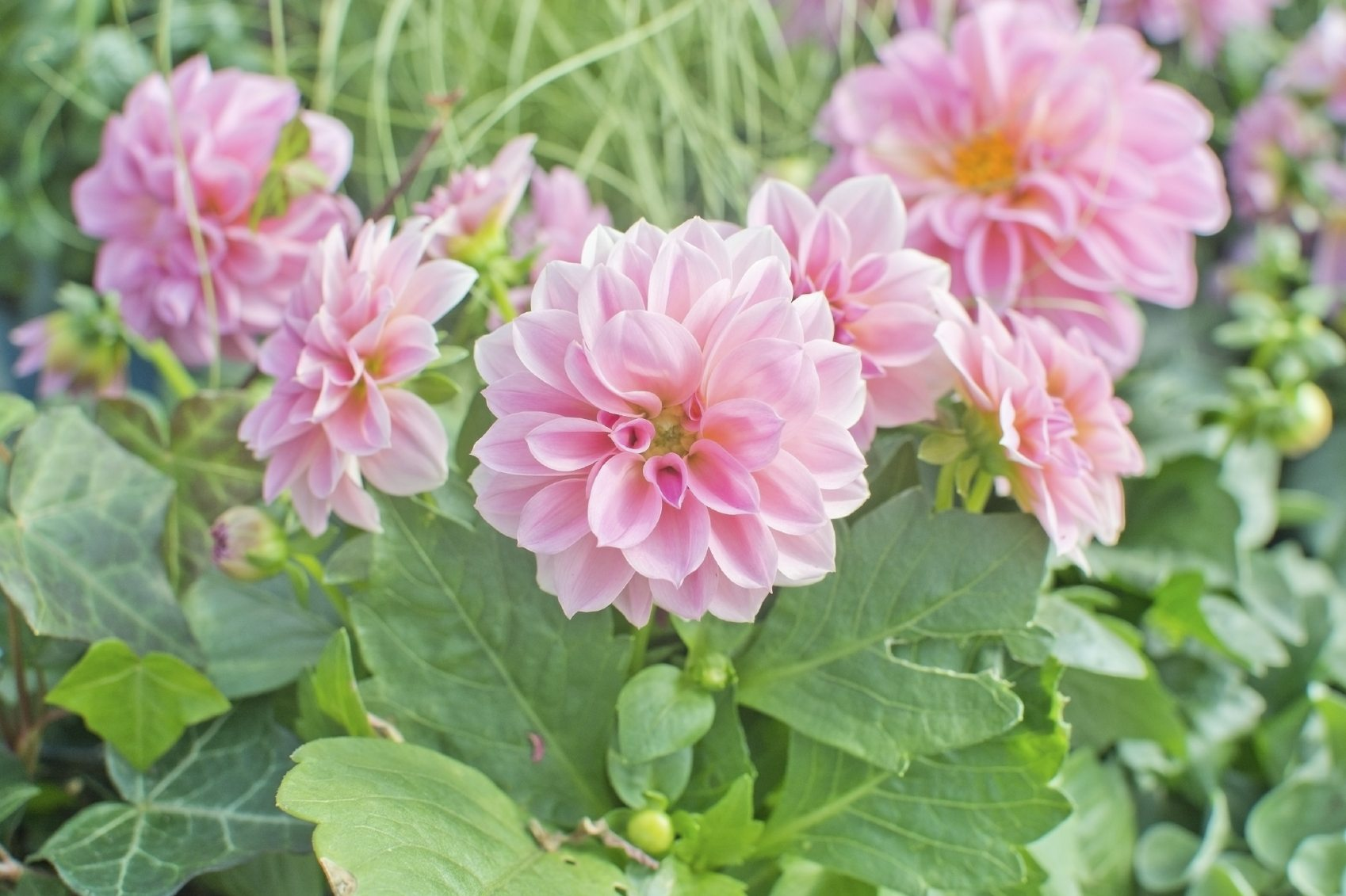 Can dahlias be grown as perennials tips on growing for Flowers that look like dahlias