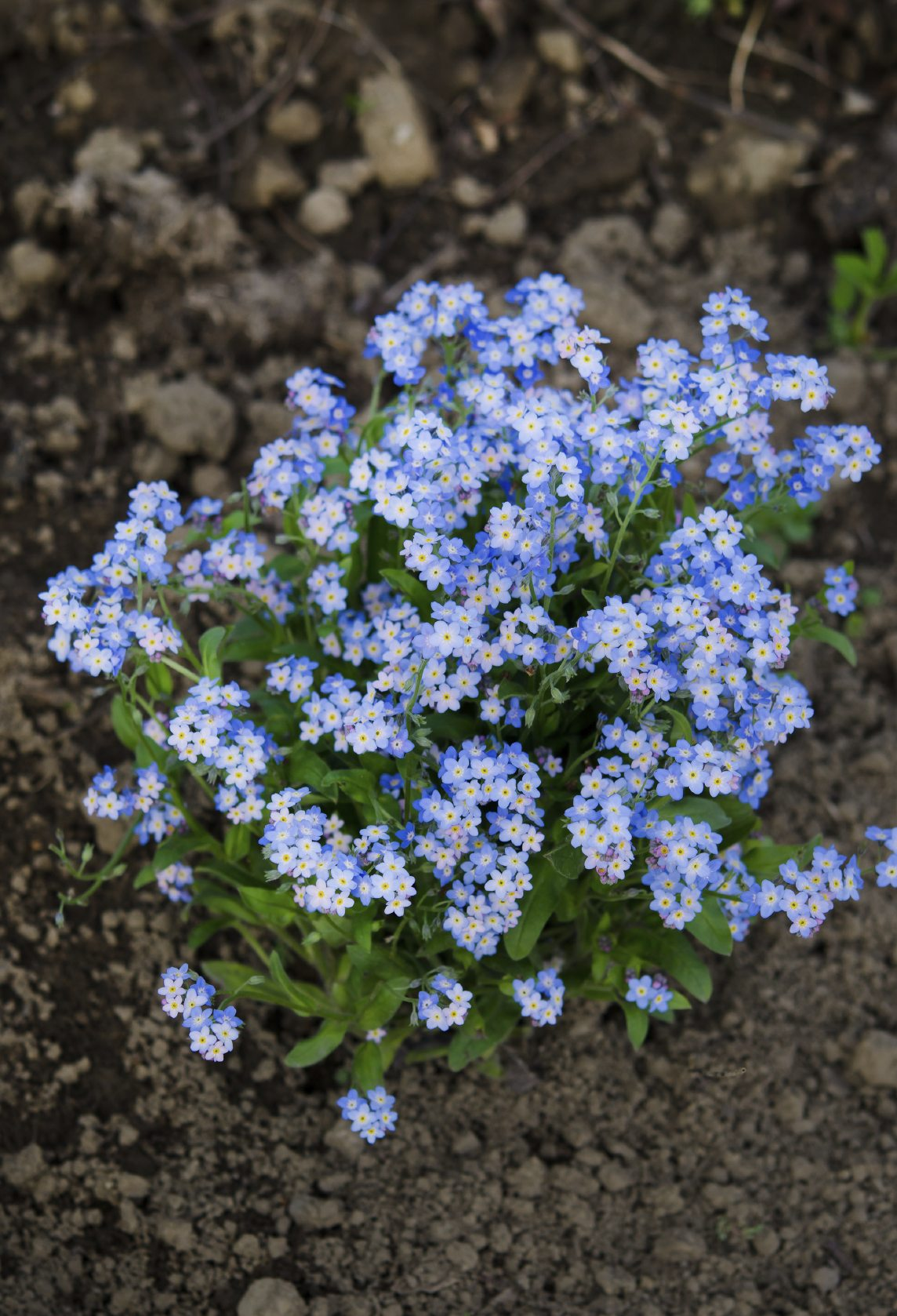 When To Plant Forget Me Nots Tips On Planting Forget Me