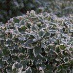 frosty euonymus