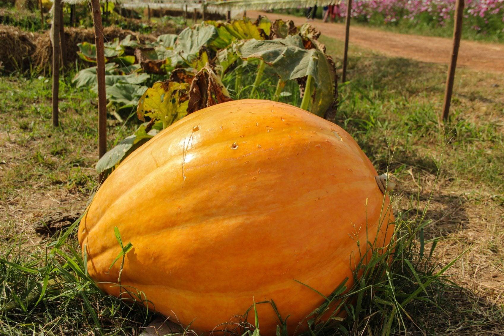 Growing Pumpkins With Milk Tips On