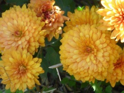 Facts About Chrysanthemum Flowers