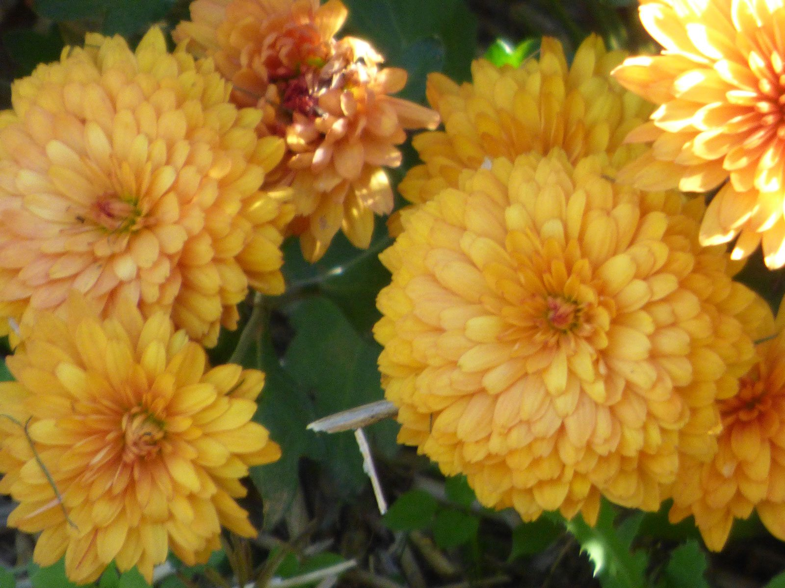 Fact About Chrysanthemum Flowers Are Mums Annual Or