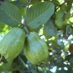 fresh guava fruit on the guava tree