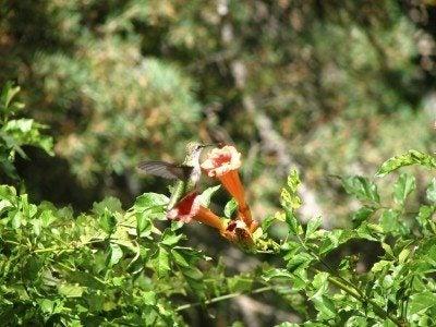 hummer trumpet vine