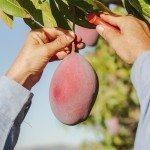 mango harvest