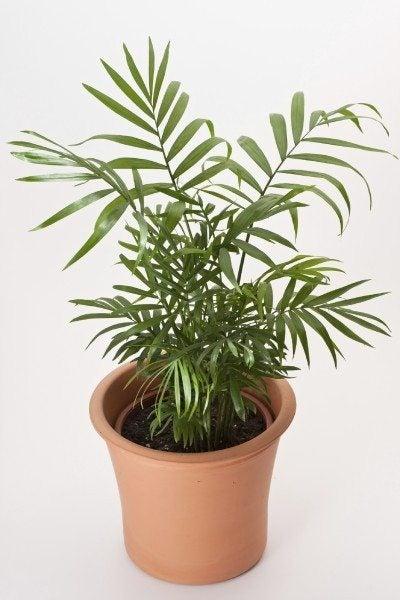 Parlor Palm or Neanthe Belle Palm (Chamaedorea elegans)