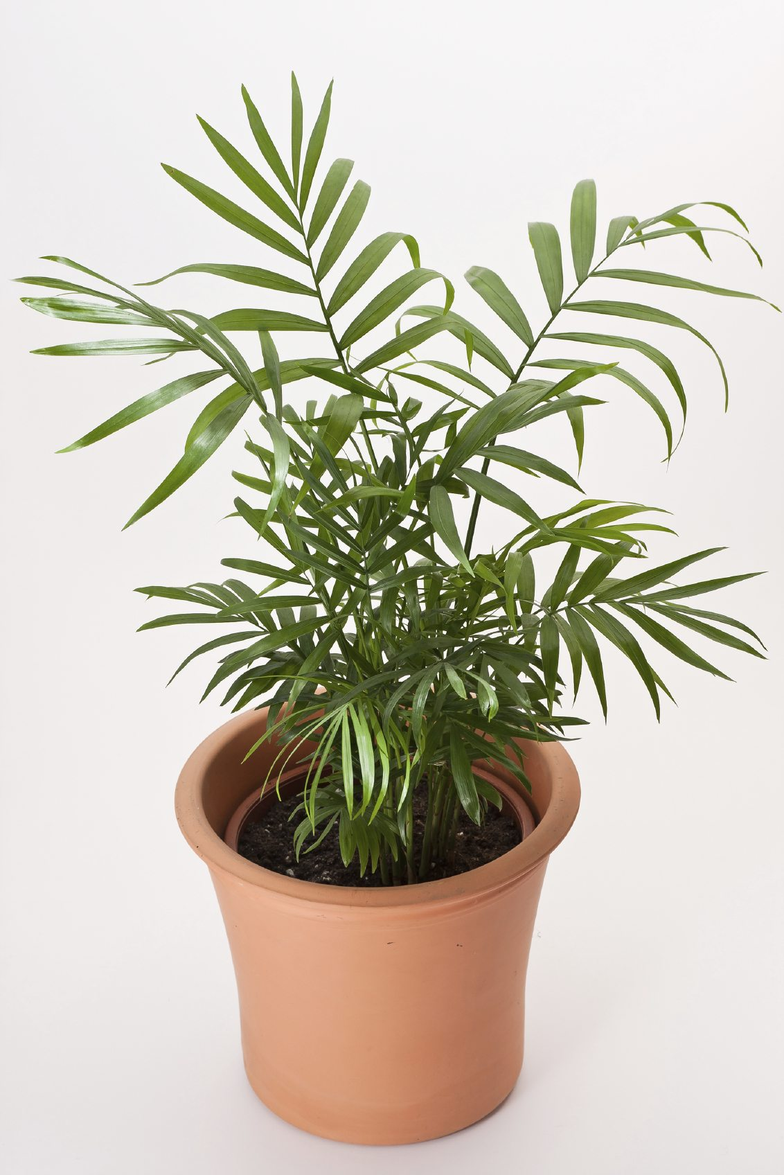 Parlor palm houseplant care caring for indoor parlor for Maintenance of indoor plants