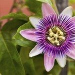 passionflower variety