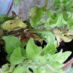 petunia-yellow-leaves