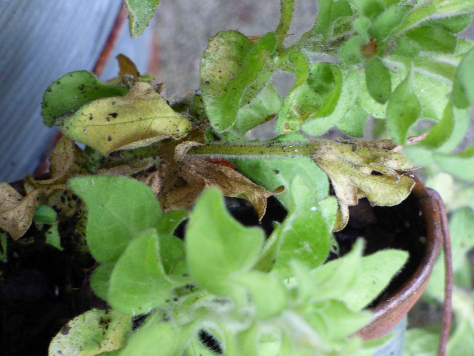 Why Are My Petunias Turning Yellow Treating Petunias