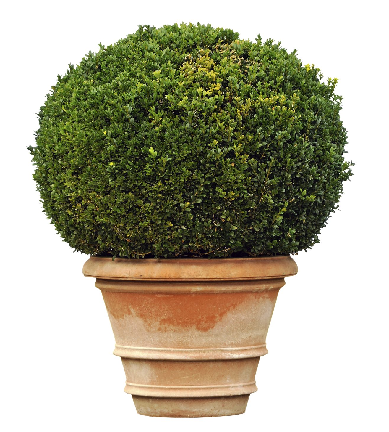 Can boxwoods be planted in pots tips on growing boxwood for Garden shrubs