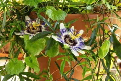 Container Grown Passion Flowers Guide To Growing Passion Flower In Containers