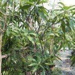garden farm mango in Thailand