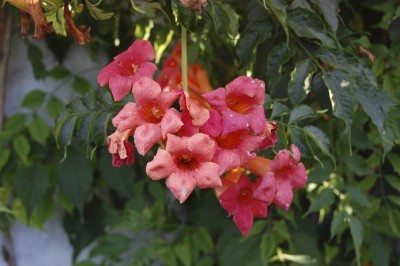 Campsis, trumpet creeper, trumpet vine. It's on  is a famous and beautiful of flowering plants