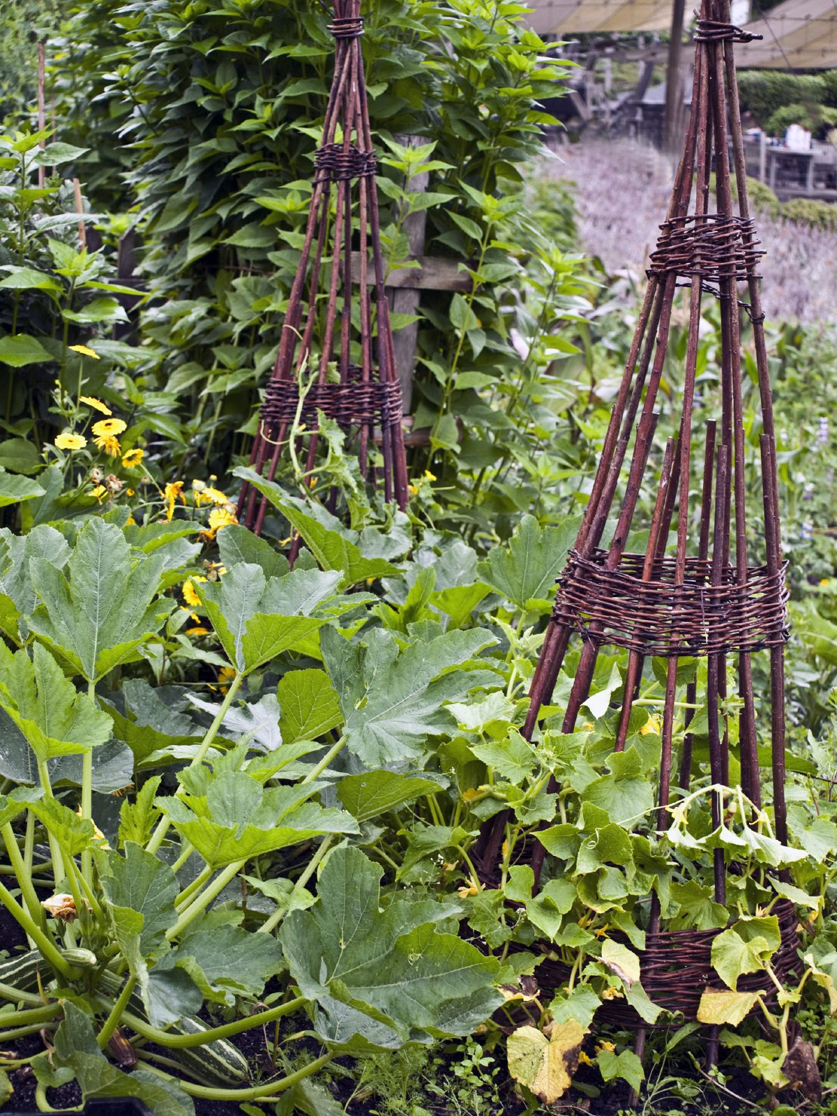 Companion Planting With Zucchini What Grows Well With