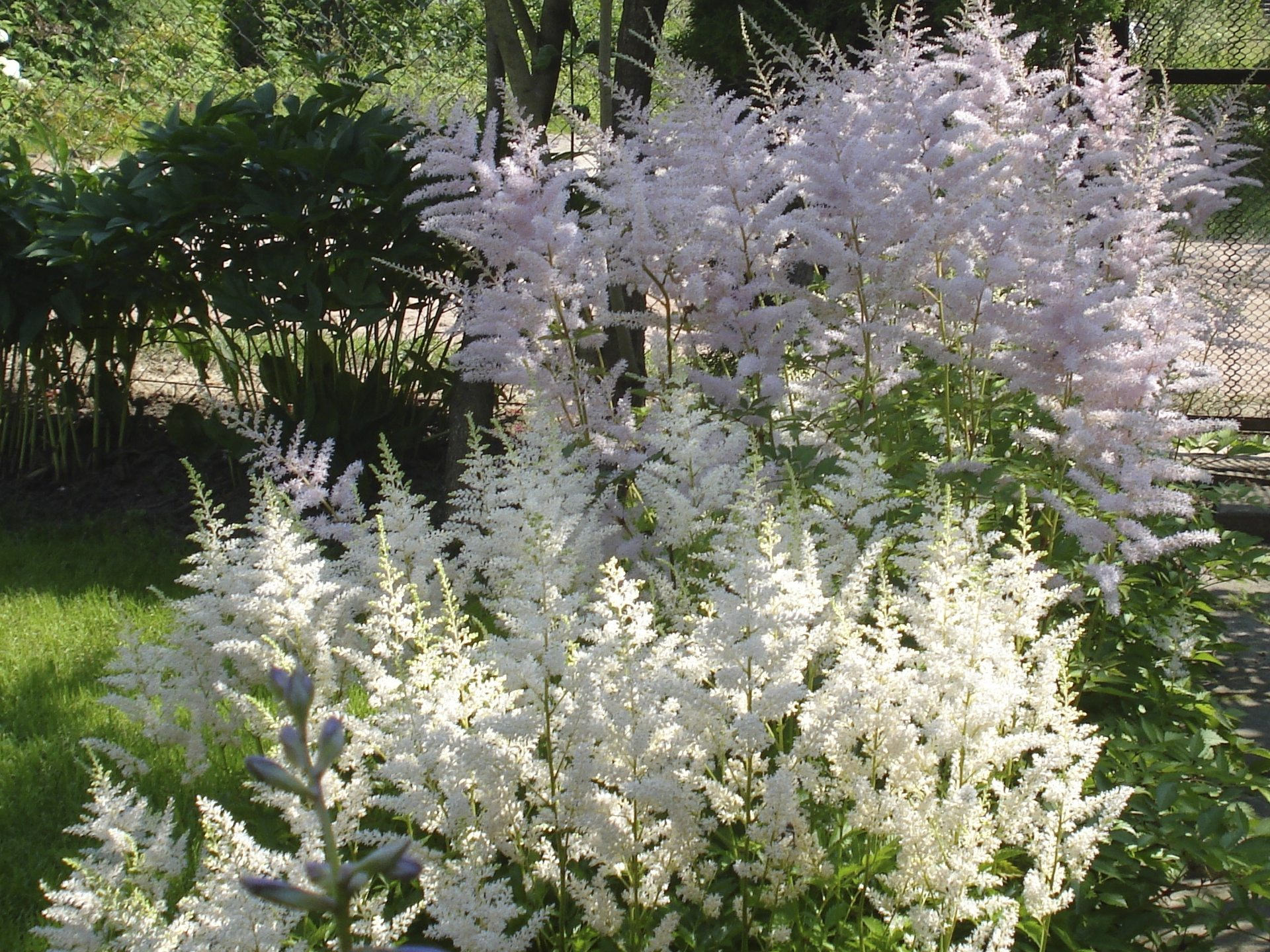 Are There Different Kinds Of Astilbe: Learn About Astilbe
